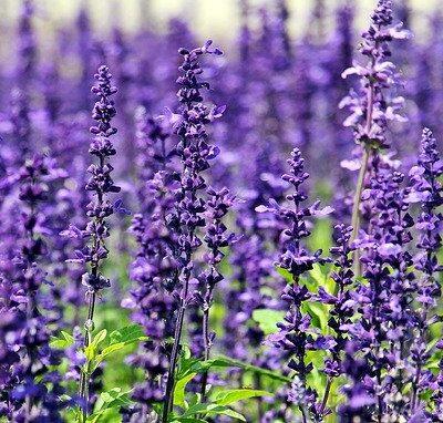 lavender used in the essential oil recipe for migraines