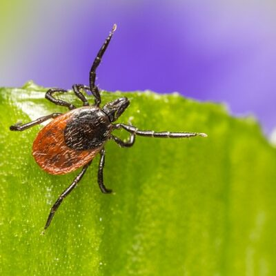 Tick that could be kept away with a tick repellent essential oil recipe